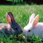 Domestic Rabbit Care Sheet